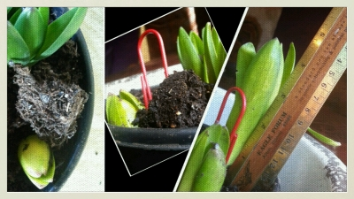 2 hyacynth collage growing