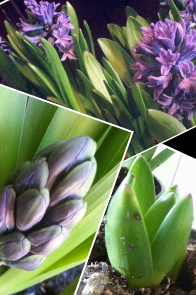 3 hyacinth collage little to bloom