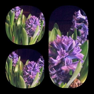 4 hyacinth collage blooming