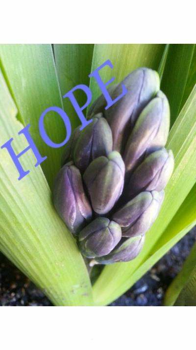 Hyacinth Hope